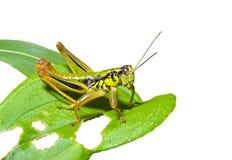 2 grasshopper φύλλο Στοκ Εικόνες