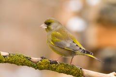 2 greenfinch carduelis chloris Zdjęcie Royalty Free