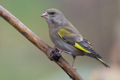 2 greenfinch carduelis chloris Zdjęcia Royalty Free