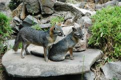 2 Grey Foxes. A pair of Central American grey foxes Royalty Free Stock Photography
