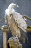 2 griffon vulture Στοκ Εικόνες