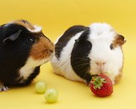 2 Guinea pigs. With grapes & strawberry stock images