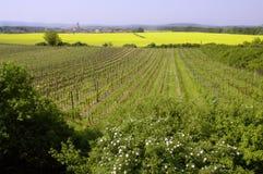 2 gwałtu oleistych winorośli winogron Obrazy Royalty Free