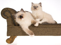 2 hübsche Ragdoll Kätzchen auf brauner Couch Stockfotos