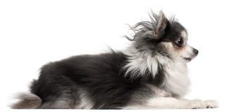 2 half gammala år för chihuahua Royaltyfri Fotografi