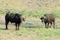 2 het portret van buffels Royalty-vrije Stock Foto