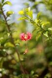 2 hibiscus υβρίδιο Στοκ Φωτογραφία