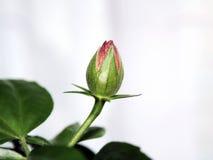 2 hibiskus Obraz Royalty Free