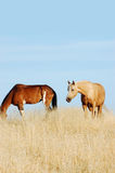 2 Horses. In dry grass Stock Photography