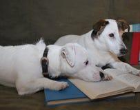 2 Hunde ermüdet vom Lesen eines Buches Lizenzfreie Stockfotografie