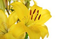 2 isolerad lilja Royaltyfria Foton