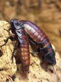 2 jätte- kackerlackor Royaltyfria Foton