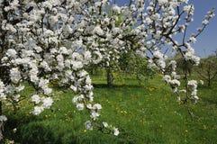 2 jabłko baden kwiaty Obraz Stock