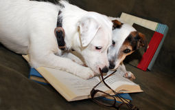 2 Well Educated Jack Russell Terriers. Two Jack Russell's one all white the other with brown facial markings intently staring at a an open book which has a Royalty Free Stock Photography