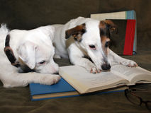 2 Jack Russell's Terriers a Reading a Fantastic Book. 2 Jack Russell Terriers looking at an open book their heads on the open page as if they're deep Royalty Free Stock Photography