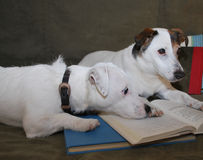 2 Jack Russell Reading Buddies. Two Jack Russell's one all white one the other with brown markings on the head are on top of an open book as if listening Royalty Free Stock Photography