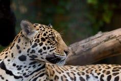 2 jaguara Obraz Stock