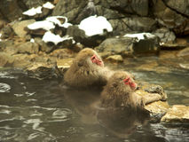 2 Japanese macaques. Two Japanese Macaques or also known as snow monkeys at Yudanaka near Nagano in Japan bathing in an outdoor hot spring or rotemburo royalty free stock photos