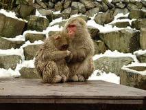 2 Japanse macaques Royalty-vrije Stock Foto