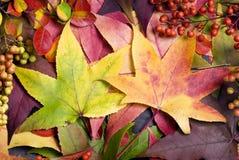 2 jesiennych liści Zdjęcie Royalty Free