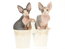 2 jolis chatons de Sphynx dans de doubles positions Photo libre de droits
