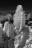 2 kaktus ir Royaltyfri Fotografi