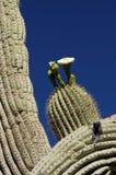 2 kaktusa okwitnięć wiosny Obrazy Royalty Free