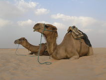 2 kamelen Stock Afbeelding