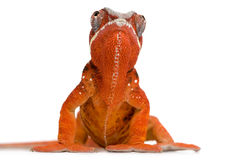 2 kameleona furcifer pardalis sambava roku Obraz Stock