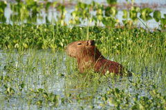 2 kapibara Fotografia Royalty Free