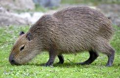 2 kapibara Zdjęcia Royalty Free