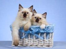 2 katjes Ragdoll in blauwe en witte mand Stock Foto's