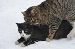 2 katten in de sneeuw Stock Fotografie