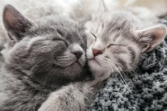 Free 2 Kittens Gently Rub Kiss And Hug On Knitted Blanket, Covered With Plaid. Couple Of Cats In Love Friendship Relationships Napping Royalty Free Stock Images - 215855439