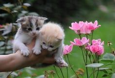 2 Kittys In Hand Stock Photos