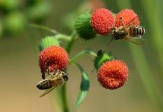 2 kleine Honigbienen Stockbild