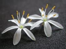 2 kleine weiße hübsche Blumen lizenzfreies stockfoto