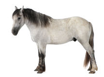 2 końskiego starego trwanie rok Fotografia Royalty Free