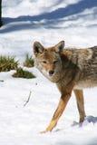 2 kojot obraz royalty free