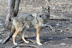 2 kojot Obraz Stock