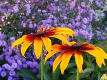 2 kolorowego kwiat Zdjęcie Stock