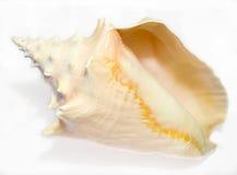2 konchy seashell Obrazy Stock
