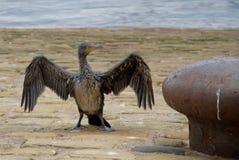 2 kormoranu zakrywający olej Zdjęcie Royalty Free