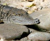 2 krokodyl australijczyków Obraz Royalty Free