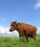 2 krowa Fotografia Royalty Free
