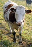 2 krowa bezroga Zdjęcie Royalty Free