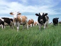 2 krowy wydojowej Obrazy Royalty Free