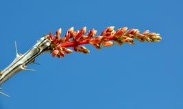 2 kwiatów kwiatu ocotillo Obrazy Royalty Free