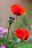 2 kwiatu głowy maczek Zdjęcia Royalty Free