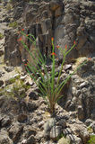 2 kwitnący kaktusowy ocotillo Fotografia Royalty Free